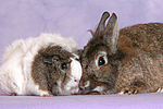 Meerschwein und Zwergkaninchen / guninea pig and dwarf rabbit