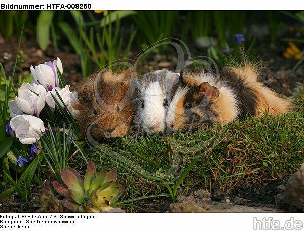 3 Meerschweine / 3 guninea pigs / HTFA-008250