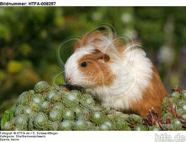 junges Sheltiemeerschwein / young guninea pig / HTFA-008257