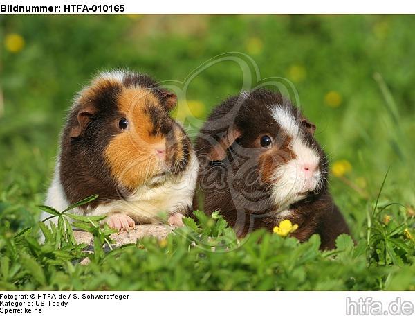 US-Teddy Meerschweine / US-Teddy guninea pigs / HTFA-010165