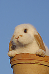 Zwergwidder / lop-eared bunny