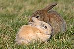 Zwergkaninchen und Widderkaninchen / dwarf rabbit and lop-eared rabbit