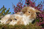 junge Widderkaninchen / young lop-eared bunnies