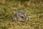 Dschungarischer Zwerghamster / hamster