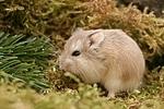 Roborowski Zwerghamster / Roborovski's dwarf hamster