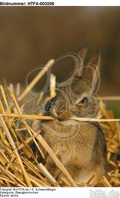 Zwergkaninchen / dwarf rabbit / HTFA-003206