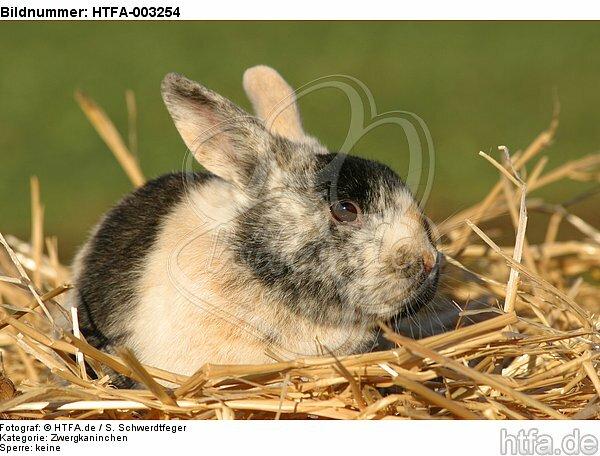 Zwergkaninchen / dwarf rabbit / HTFA-003254