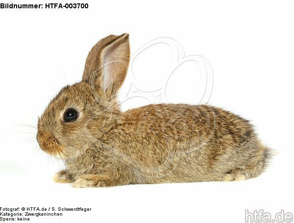 Zwergkaninchen / dwarf rabbit / HTFA-003700