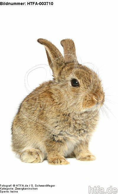 Zwergkaninchen / dwarf rabbit / HTFA-003710
