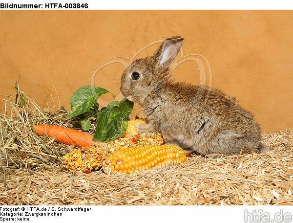 Zwergkaninchen / dwarf rabbit / HTFA-003846