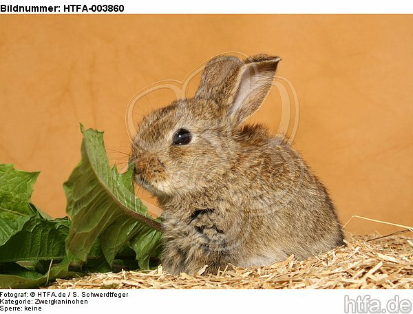 Zwergkaninchen / dwarf rabbit / HTFA-003860
