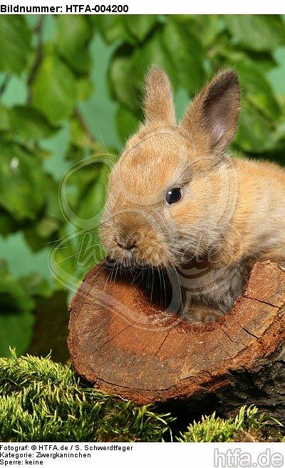 junges Zwergkaninchen / young dwarf rabbit / HTFA-004200