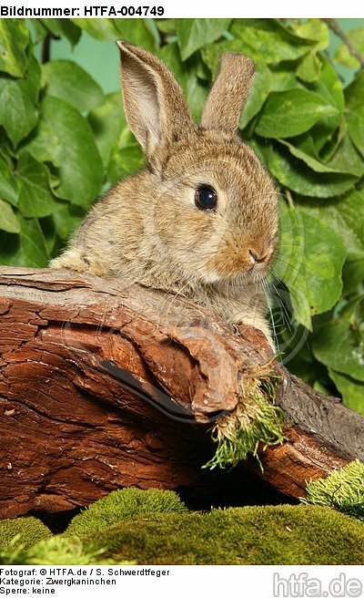junges Zwergkaninchen / young dwarf rabbit / HTFA-004749