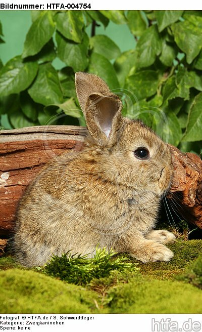 junges Zwergkaninchen / young dwarf rabbit / HTFA-004754