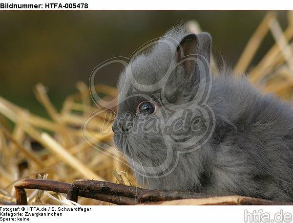 junges Zwergkaninchen / young dwarf rabbit / HTFA-005478