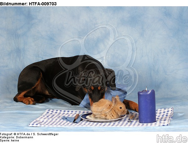 Dobermann beim Essen / Doberman Pinscher at dinner / HTFA-009703