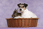 Parson Russell Terrier und Zwergkaninchen / dog and dwarf rabbit