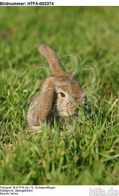 Zwergwidder / lop-eared bunny / HTFA-003374
