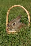 junger Zwergwidder / young lop-eared bunny