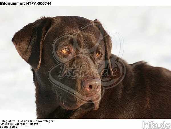 Labrador Retriever / HTFA-005744