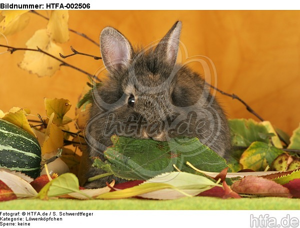 L�wenk�pfchen / lion-headed bunny / HTFA-002506