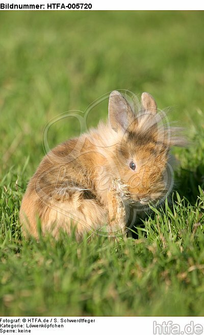 junges L�wenk�pfchen / young lion-headed rabbit / HTFA-005720