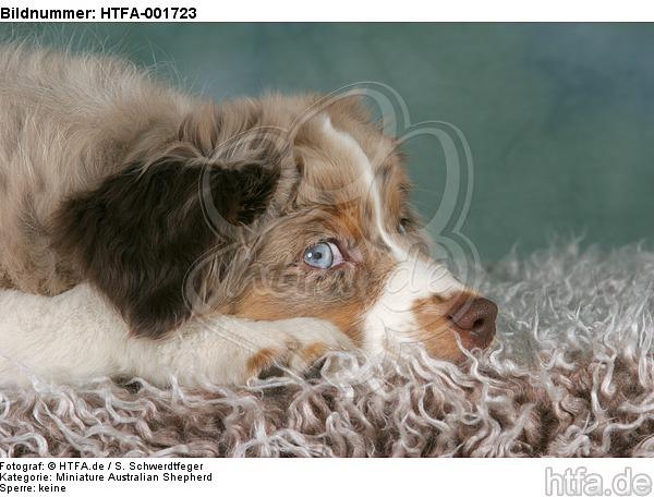 Miniature Australian Shepherd Welpe / miniature australian shepherd puppy / HTFA-001723