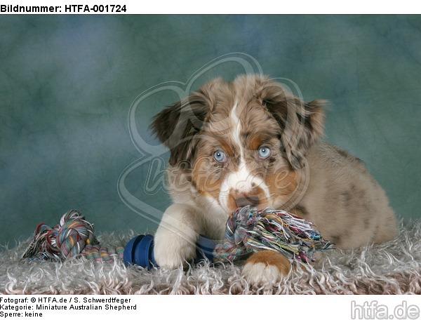 Miniature Australian Shepherd Welpe / miniature australian shepherd puppy / HTFA-001724