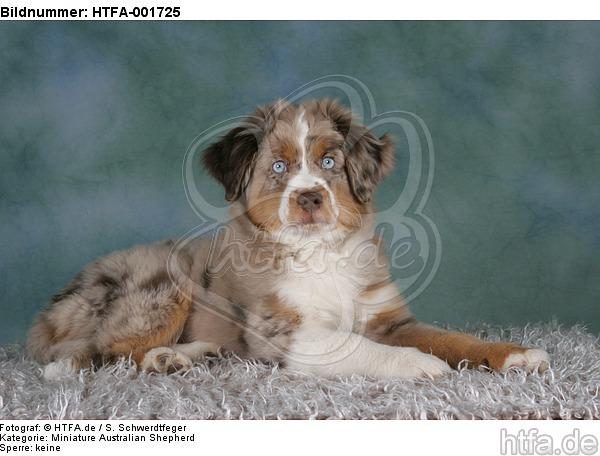 Miniature Australian Shepherd Welpe / miniature australian shepherd puppy / HTFA-001725