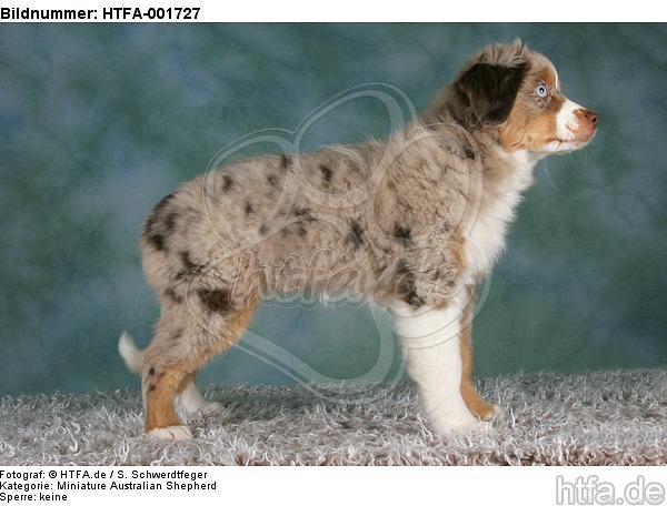 Miniature Australian Shepherd Welpe / miniature australian shepherd puppy / HTFA-001727