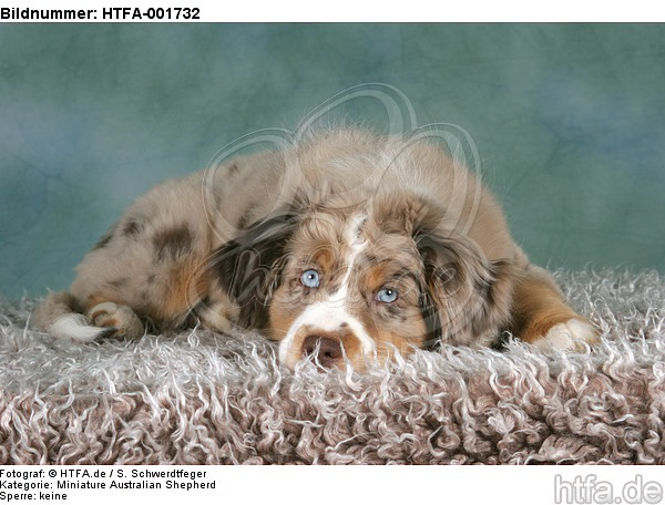 Miniature Australian Shepherd Welpe / miniature australian shepherd puppy / HTFA-001732