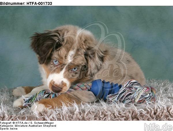 Miniature Australian Shepherd Welpe / miniature australian shepherd puppy / HTFA-001733