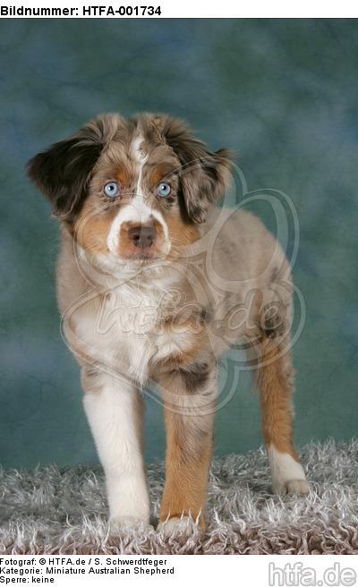 Miniature Australian Shepherd Welpe / miniature australian shepherd puppy / HTFA-001734
