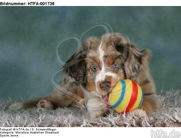 Miniature Australian Shepherd Welpe / miniature australian shepherd puppy / HTFA-001735