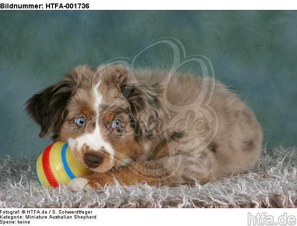 Miniature Australian Shepherd Welpe / miniature australian shepherd puppy / HTFA-001736