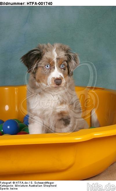 Miniature Australian Shepherd Welpe / miniature australian shepherd puppy / HTFA-001740