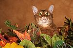 Abessinier / abyssinian cat