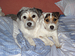 Parson Russell Terrier im Bett / PRT in bed