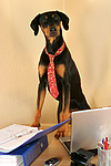 Dobermann / doberman pinscher