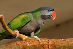 Chinasittich / Derbyan parakeet