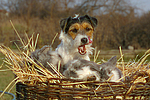 Parson Russell Terrier und Widderkaninchen / prt and lop-eared bunnies