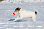 Parson Russell Terrier im Schnee / dog in snow