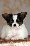 liegender Papillon Welpe / lying papillon puppy