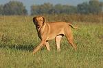laufender Rhodesian Ridgeback / walking Rhodesian Ridgeback