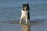 Border Collie steht im Wasser / bathing Border Collie