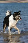 badender Border Collie / bathing Border Collie