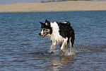 Border Collie rennt durchs Wasser / running Border Collie