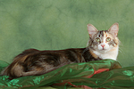 liegende Norwegische Waldkatze / lying Norwegian Forestcat