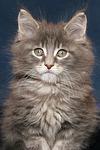 Maine Coon K�tzchen / maine coon kitten