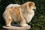 stehender Chow Chow / standing Chow Chow
